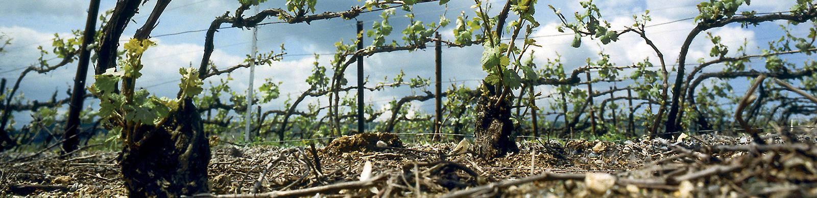 Vignoble Champenois